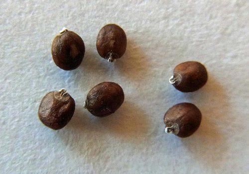 アキチョウジ種子3wb.jpg