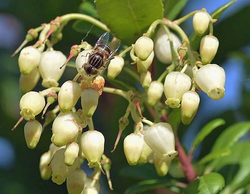 イチゴノキ花蜂wb2.jpg