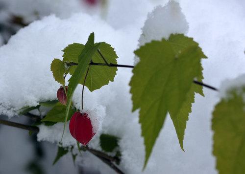 ウキツリボク雪-1wb.jpg