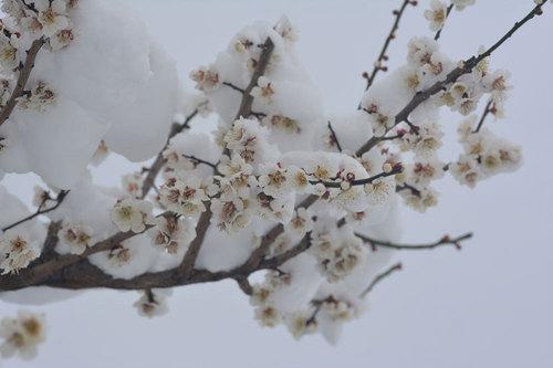 ウメ雪2015-1wb.jpg