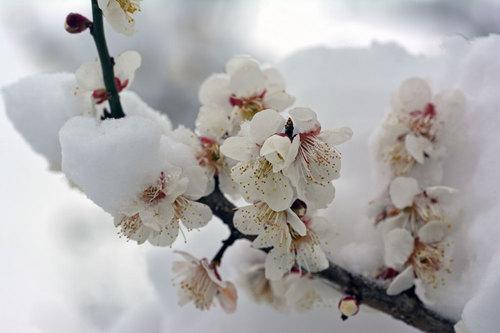 ウメ雪2wb.jpg