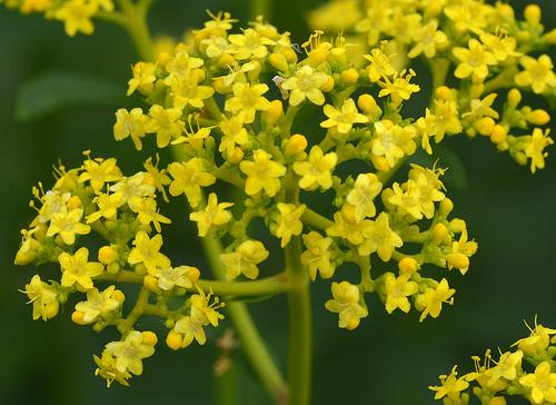 オミナエシ花1wb.jpg