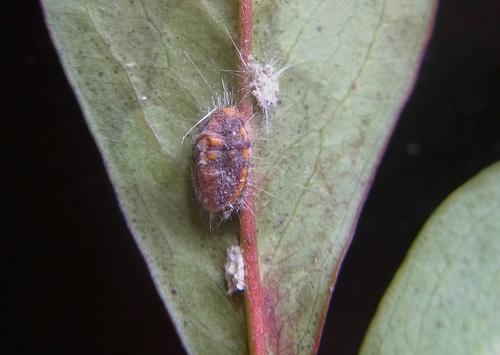 カイガラムシ幼虫1wb.jpg