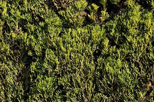 カイヅカ鱗片状葉1wb.jpg