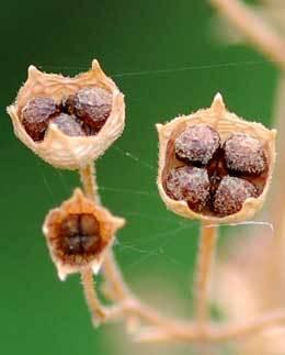 カリガネソウ種子1114wb2.jpg