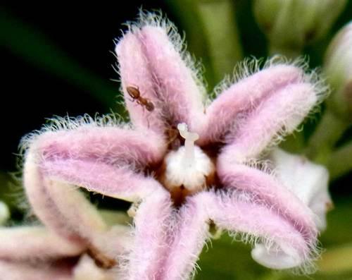 ガガイモの花・アリ1wb.jpg