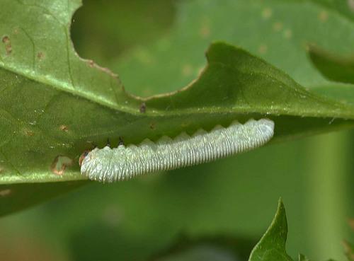 キイロハバチ幼虫2wb2.jpg
