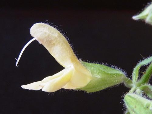 キバナアキギリ花6wb.jpg