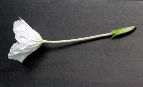 ギンパイソウ花筒wb.jpg