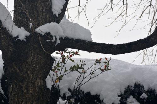クチナシ雪2wb.jpg