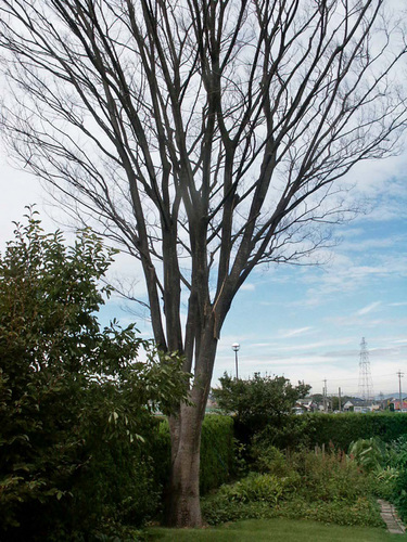 ケヤキ枯れ20020820wb.jpg