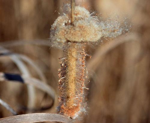 コガマの穂雌軸wb.jpg