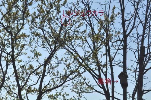 シジュウカラと巣箱Lwb.jpg
