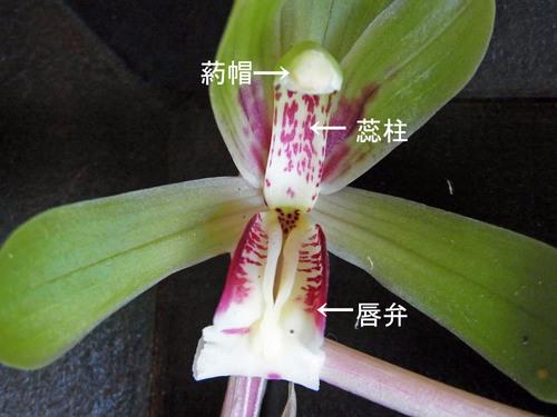 シュンラン唇弁襞奥wbL.jpg