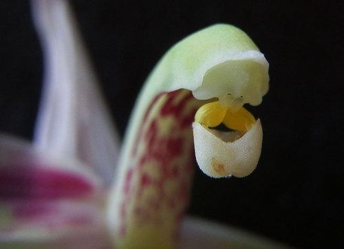 シュンラン花粉塊14wb.jpg