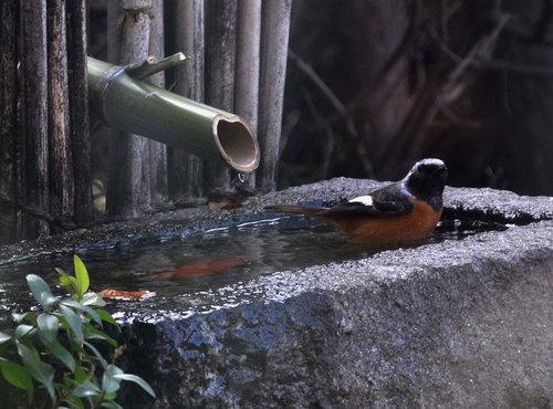 ジョウビタキ水浴2wb.jpg