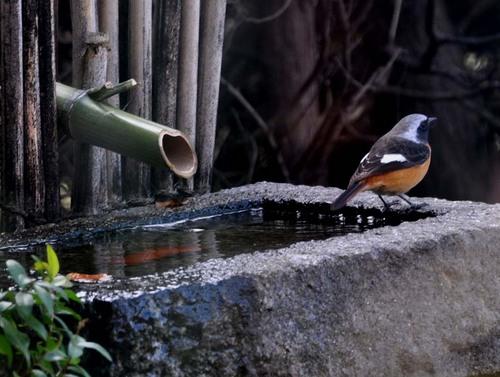 ジョウビタキ水浴前wb2.jpg
