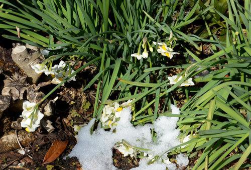 スイセン雪後2wb.jpg