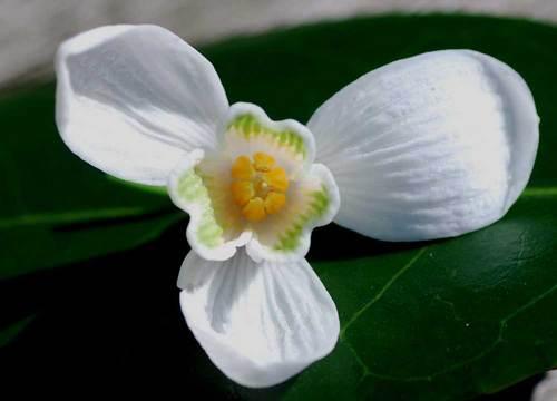 スノードロップ花弁2wb.jpg