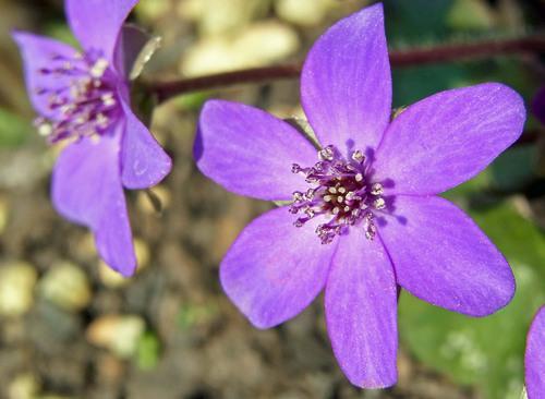 スハマソウ紫2wb.jpg