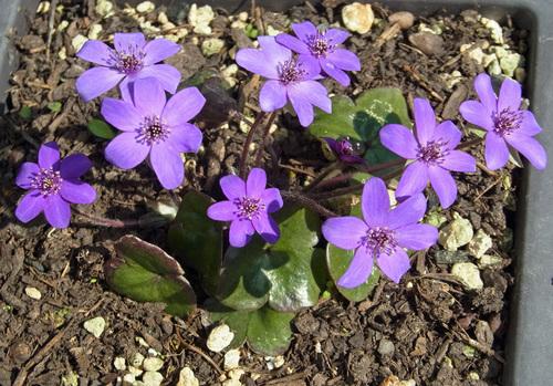 スハマソウ紫wb.jpg
