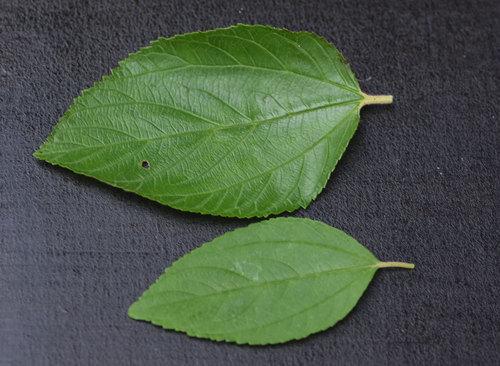 セアノサス葉2種wb.jpg