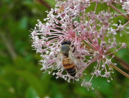 セアノサス蜜蜂wb2.jpg