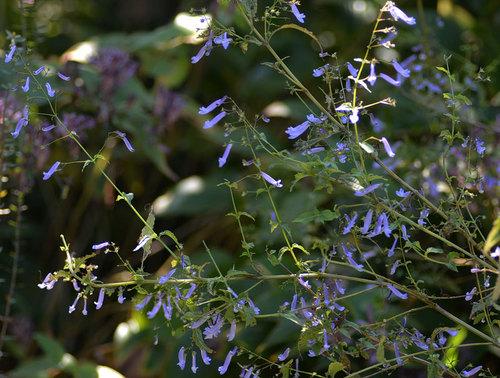 セキヤノアキチョウジ乱れ咲きwb2.jpg