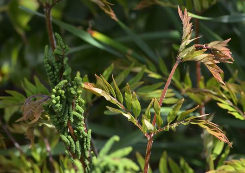 ゼンマイ胞子葉栄養葉wb.jpg