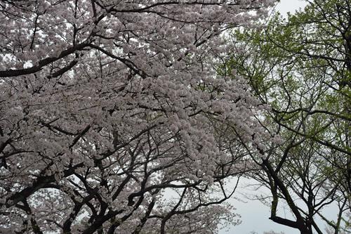 ソメイヨシノ0410花3wb.jpg