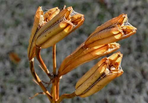 タカサゴユリ種子2wb.jpg