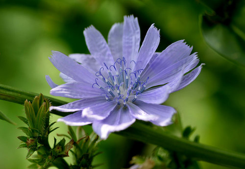 チコリの花1wb.jpg