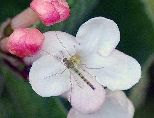 チョウジガマズミと昆虫43.jpg