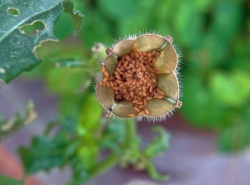 ツキミソウ種子wb2.jpg