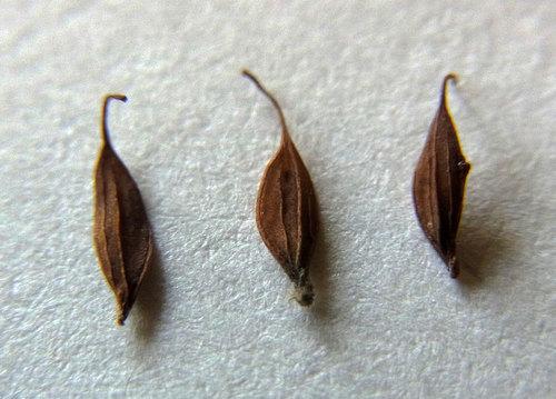 ツシマカラマツ種子6wb.jpg