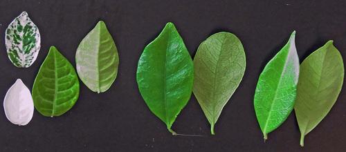 テイカカズラ3種葉wb1.jpg