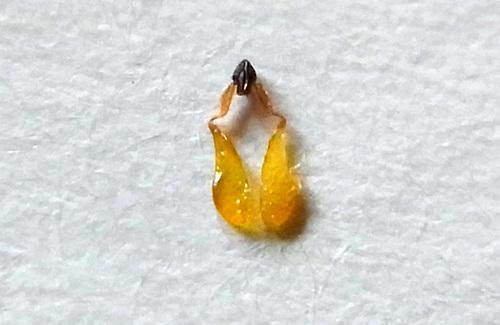 トウワタ花粉塊4wb.jpg