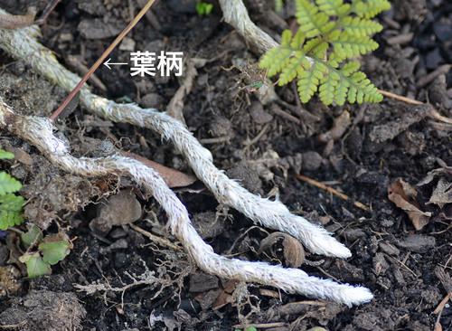 トキワシノブ根茎2wb3.jpg