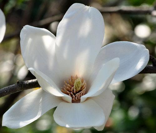 ハクモクレン花粉1wb.jpg