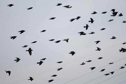 ハト飛翔1wb.jpg