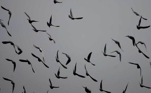 ハト飛翔2wb.jpg
