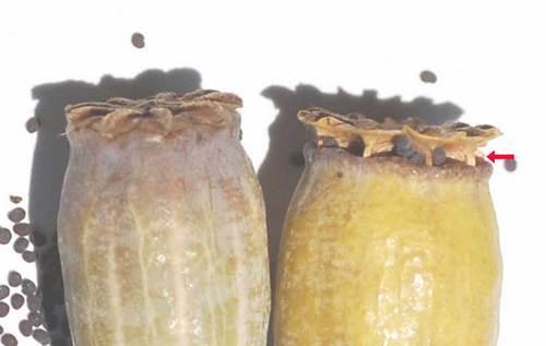 ヒナゲシ種子5-4Lwb.jpg