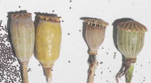 ヒナゲシ種子5-5wb.jpg