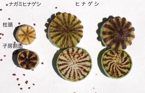 ヒナゲシ種子Lwb.jpg