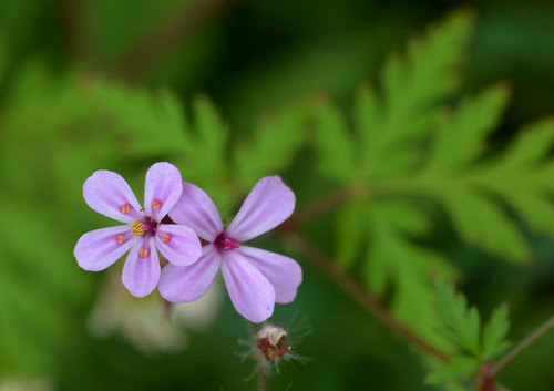 ヒメフウロの花wb.jpg