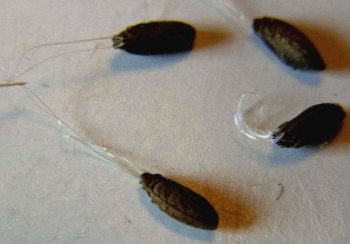 ヒメフウロ種子糸1wb.jpg