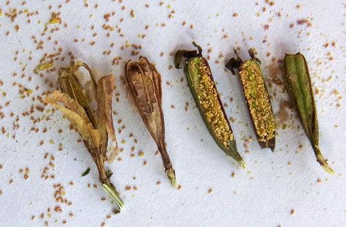 ヒレタゴボウ種子wb.jpg