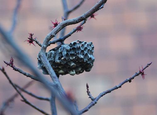 マルバノキ蜂の巣wb.jpg