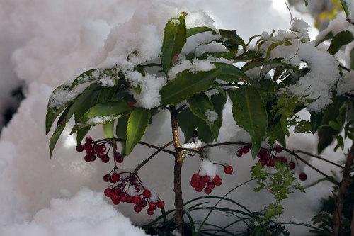 マンリョウ雪2wb.jpg