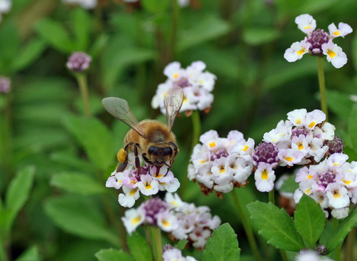 ミツバチ口吻wb.jpg